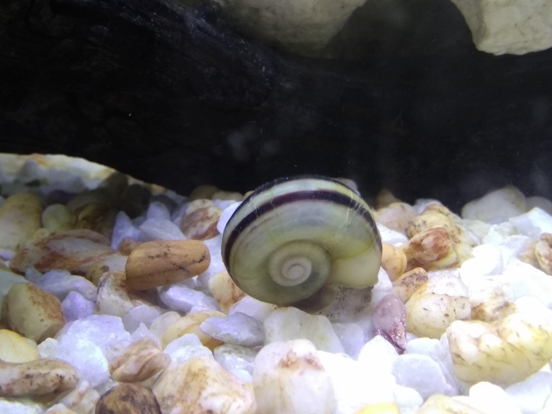 Snail-aquarium-cartimar